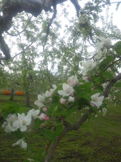 りーんごーの花ぁびらがぁ♪